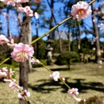 Ume blossoms at Shukkei-en Garden 2017
