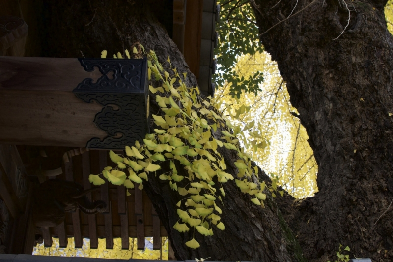 Gingko growing through the temple gate