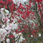 Hanamomo Peach Blossoms in Ohnan
