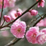 ume-at-shukkeien-garden-05