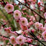 ume-at-shukkeien-garden-19