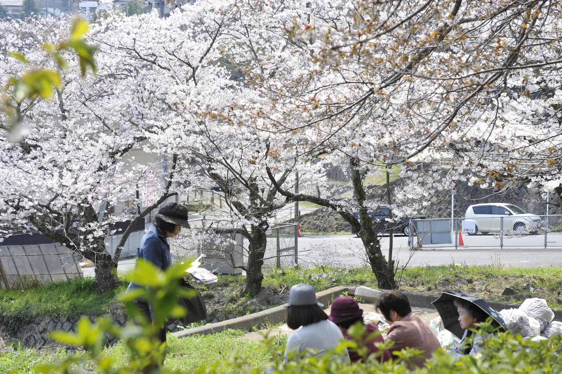 Cherry Blossoms on the way up to Mitaki Temple