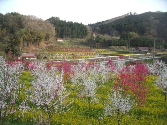 Hana Momo Peach Blossoms 2